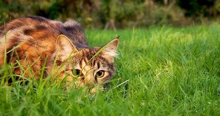 cat-stalking-in-grass